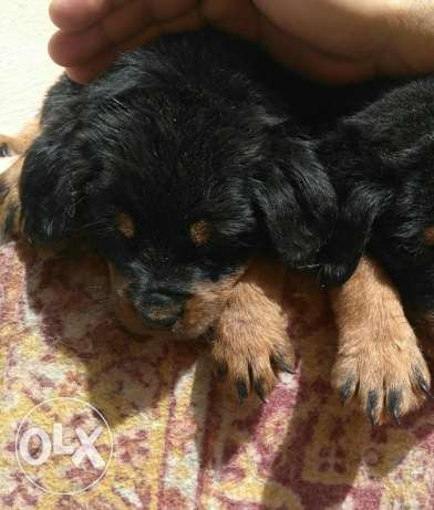 Rot puppy for sale
