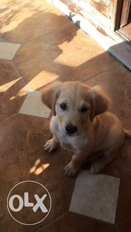 Golden Retriever Female شدس -  3