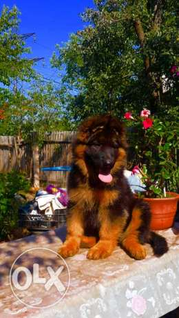 imported female king german 2.5 month from poland with pedigree