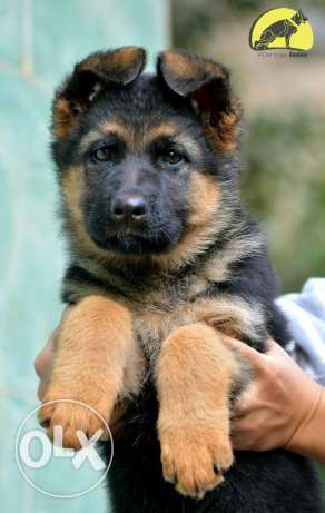 German shepherd female مدينة نصر -  1