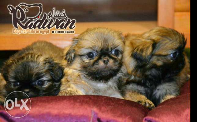 Pikinwah puppies for sale