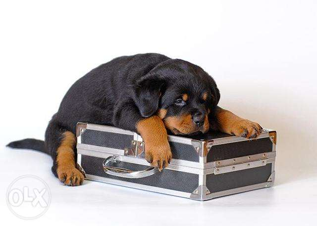 Rott weiler pure for sale