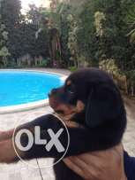 50 days Rottweiler for sale