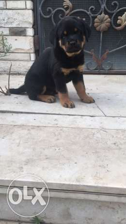 For sale male Rottweile شيراتون -  3