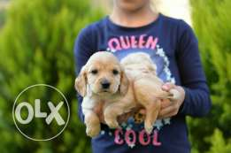 Cocker Spaniel puppies Ready for new homes