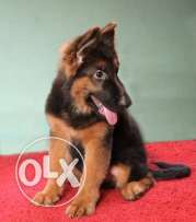 Hight quality! German shepherd long hair