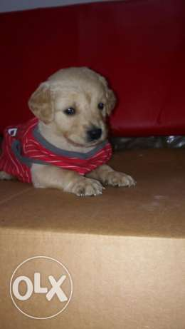 Golden retriever male puppy