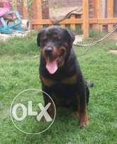 Male Rottweiler fo sale