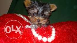 For sale puppies super mini Yorkshire imported with all documents