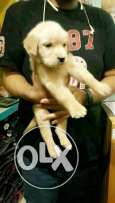 For sale best puppies golden retriever best color
