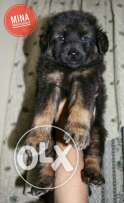 Baby german shiperd pure for sale