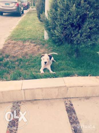 For Sale Beautiful Pure White Boxer Puppie مصر الجديدة -  4