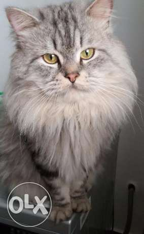 Silver shaded male cat