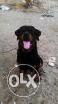 Rottweiler for mating or sale