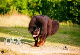 For sale best female Tibetan mastiff imported with all documents fci