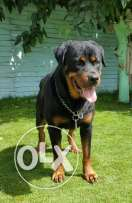 Male Rottweiller for sale 2 years
