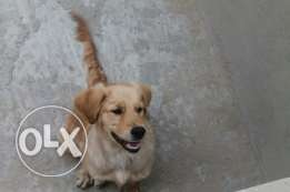 جولدن رتريفر Golden Retriever