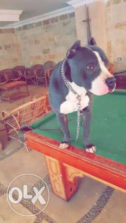 American Pitbull for sale