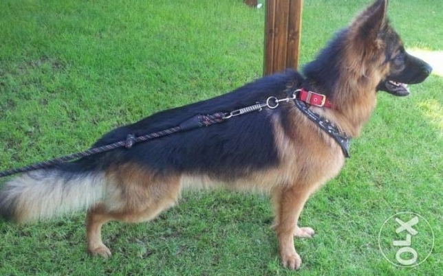 German shepherd champion bloodline التجمع الخامس -  4
