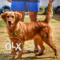 Female Golden retriever puppy 5 months old daughter of Messi for sale