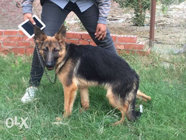 german shepherd. female puppie التجمع الأول -  2