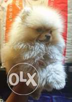For sale best puppy Pomeranian micro mini imported with all documents