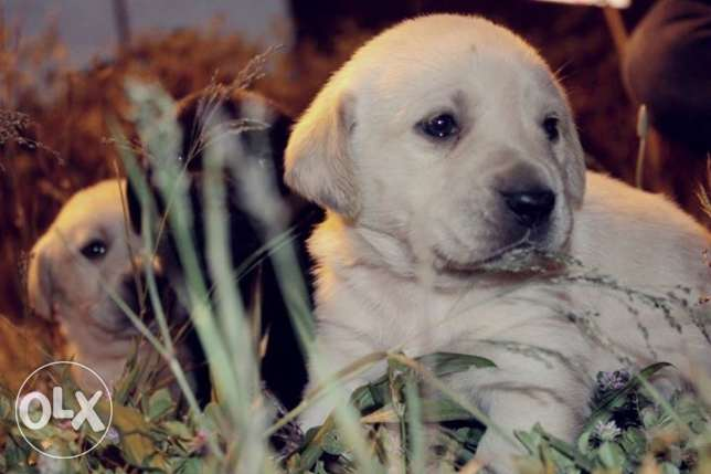 جراء لابرادور ريتريفر Labrador retriever puppies