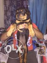 for sale a rottweiler puppy