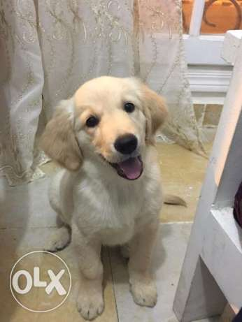 Selling Golden Retriever 6 أكتوبر -  2