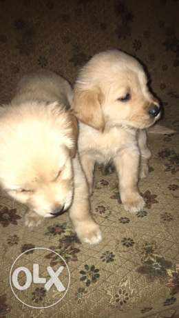 golden retrievers puppies for sale الإسكندرية -  4