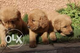 puppies pure golden جرو جولدن