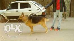 German Sheppard for sale