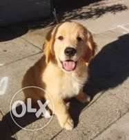 Pure Golden male dog 3 months for sale