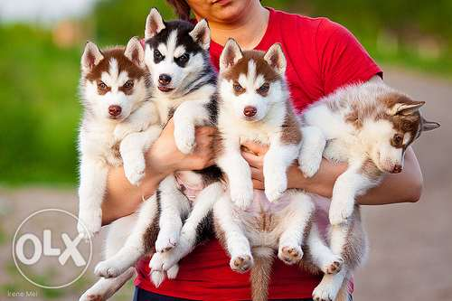 Husky puppies طنطا -  1