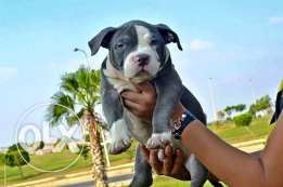 Amrican bully puppies for sale بولي