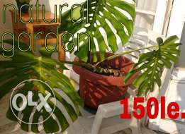 plant for balcony and garden Monstera