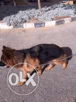 For Marriage Germane Shepherd (male) 20 month old
