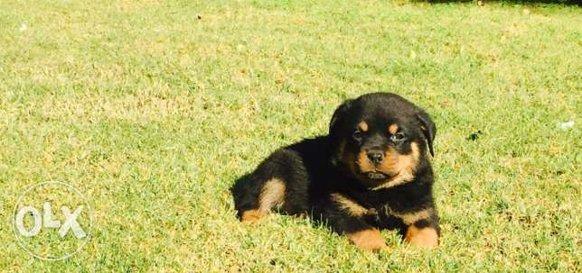 Rottweiler puppies for sale حى الجيزة -  2
