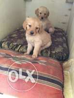 golden retriever females and males