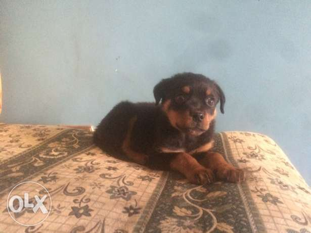 puppy Rottweiler 70 days for sale in nasr city