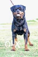 For sale super male son of world Ch boogaloo vom AGRAM berg