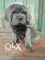 For sale best puppies Neapolitan Mastiff imported with all documents