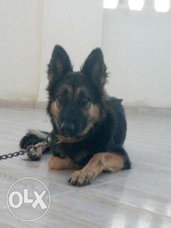 German shepherd شرم الشيخ -  2