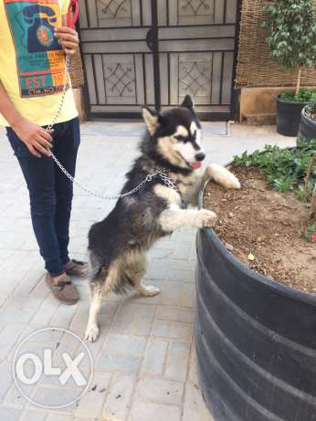 ...husky pure male almost one year المعادي -  1
