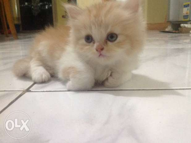 cats to sell