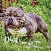 Now for sale american bully female
