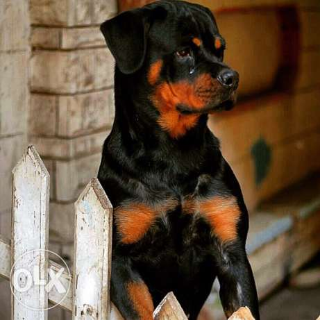 imported Rottweiler female with its pedigree for sale