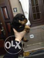 rottweiler puppies for sale only