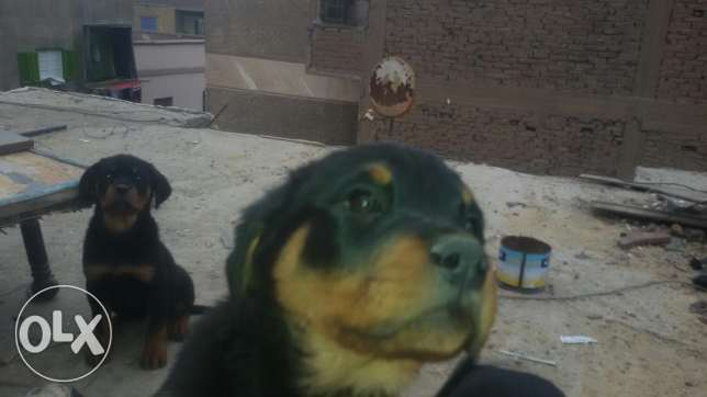 Dogs for sell in Egypt