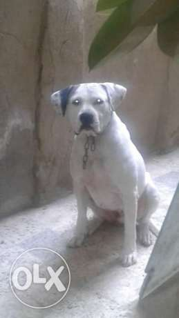 Female pitbull 8 months مصر الجديدة -  1
